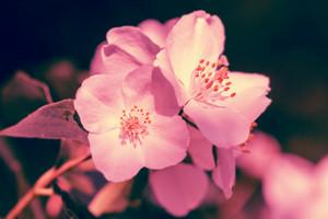 Vintage Jasmine Flower at sunset light against dark background