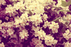 Vintage Jasmine flowers blossoming on the bush at sunrise in the garden.