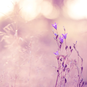 vintage lilac meadow flowers in sunny field