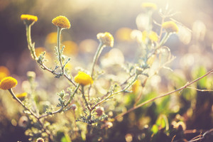 vintage meadow flowers in field