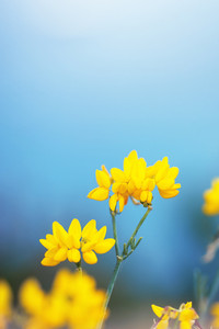 vintage nature macro closeup beautiful yellow flowers on blue background