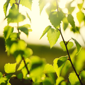 Vintage nature outdoor background. Young green leaves on branches