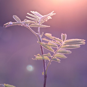 Vintage plant at sunrise in forest