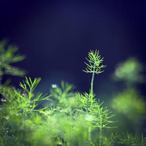 Vintage plant dill