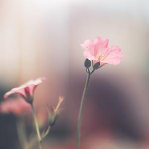 vintage soft pink flowers