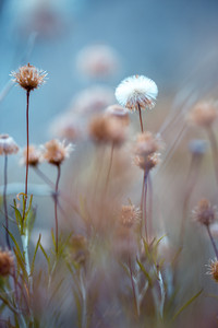 vintage spring dandelion. Photo with unusual cold blue colours