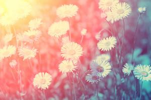 Vintage wild chamomile flowers at sunset light