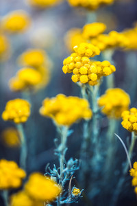 vintage yellow beautiful flowers in bright green grass. Nature ourdoor