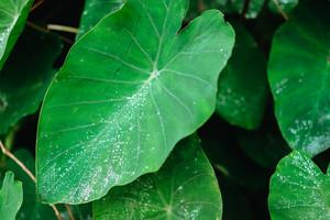 Water drop on Lotus leaf, Deep green colored leaves, background
