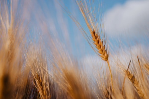 Wheat ear on a field with blue sky and clouds in background