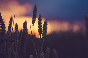 Wheat silhouette in evening sunset light. Natural light back lit. Beautiful sun flares bokeh