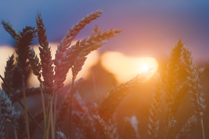 Wheat steams in evening sunset light flares. Natural light back lit. Beautiful sun flares bokeh