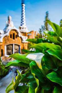 White Arum flower and green leaves in front of colorful mosaic building in Park Guell. Evening warm light. Barcelona, Spain