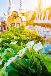 White Arum flowers and green leaves in front of colorful mosaic building in Park Guell. Evening warm light. Barcelona, Spain