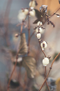 White berries in rain in forest with dropas of water