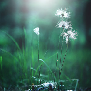 white big soft flowers in green grass in forest