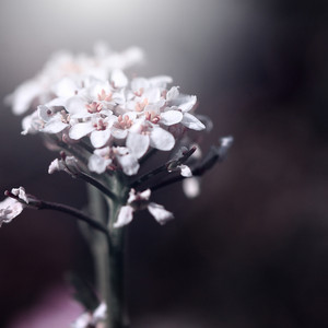 White flowers on dark background. Nature