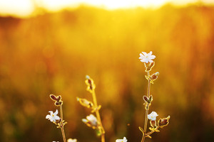 white meadow wild flowers at evening sunshine. Fresh natural sunny autumn background
