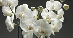 white orchid on black background. Closeup with drops of water