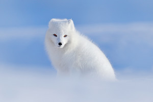 White polar fox in habitat, winter landscape, Svalbard, Norway. Beautiful animal in snow. Sitting fox. Wildlife action scene from nature, Vulpes lagopus, in the nature habitat. Cold winter with fox.