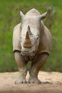 White rhinoceros, Ceratotherium simum, with big horn, in the nature habitat, Tanzania, Africa