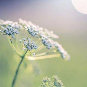 white soft flowers in morning light