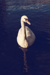 White swan in a lake near the Town Hall. Hamburg City, Germany
