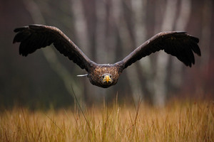 White-tailed Eagle, Haliaeetus albicilla, face flight, bird of prey with forest in background, animal in the nature habitat, wildlife, Norway