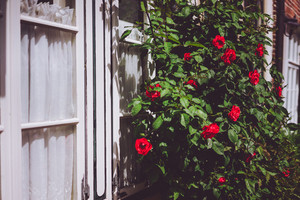 White window frames with red rose bushes. Warm sunlight and summer flowers