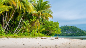 Wild coconat Palms on Friwen Island, Wall in Background, West Papuan, Raja Ampat, Indonesia