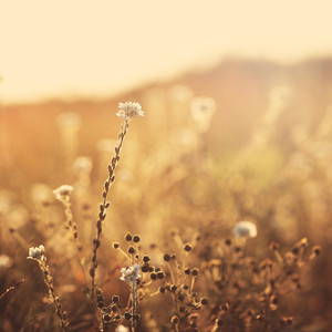 wild meadow chamomile. Autumn sunny natural field background