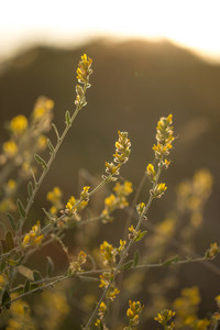 wild meadow yellow flowers in field in evening sunlight