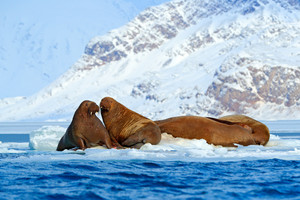 Winter Arctic landscape with big animal. Family on cold ice. Walrus, Odobenus rosmarus, stick out from blue water on white ice with snow, Svalbard, Norway. Mother with cub. Young walrus with female.