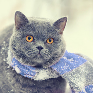 Winter fashion portrait of Blue British shorthair cat wearing pink gray knitting scarf