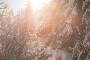 winter sunset, pine tree forest  background  covered with fresh snow