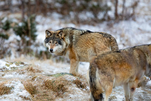 Wolf pack roaming around in the forest in early winter