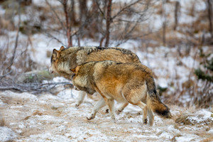 Wolf pack running into the forest at winter