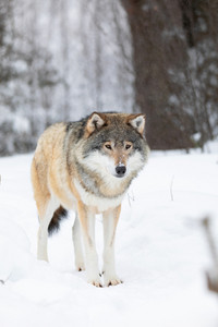 Wolf stands in the snow in beautiful winter forest