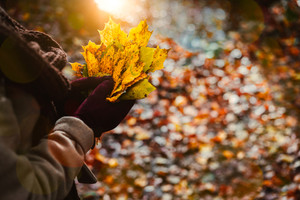 Women holds bouquet of autumn yellow maple leaves in her gloved hands. Ground covered with orange leaves and warm backlit sunlight in background