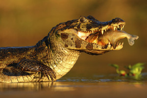 Yacare Caiman, crocodile with fish in with evening sun, Pantanal, Brazil
