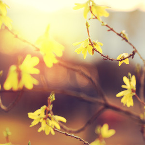 yellow flowers on branches at sunrise