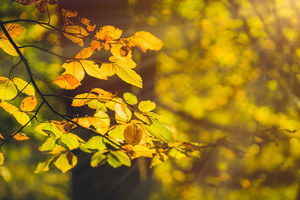 Yellow leaves in autumn season in evening sun flares in a forest