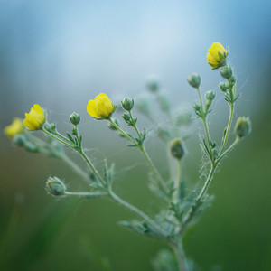 yellow little meadow flowers on natural background in evening
