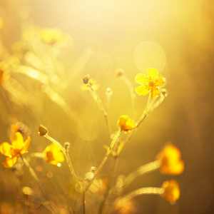 yellow soft flower on sunny field in evening