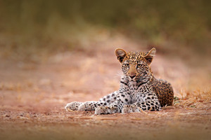 Young African Leopard, Panthera pardus shortidgei, Hwange National Park, Zimbabwe. Beautiful wild cat sitting on the gravel road in Africa. Wildlife scene from the nature. Cute leopard babe.