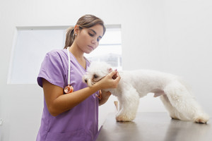 Young latina woman working as veterinary, vet during visit. Animal doctor visiting ill pet in clinic and cleaning dog ear. People, jobs, professions and animal care