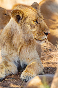 Young male lion resting together with the pride in Serengeti