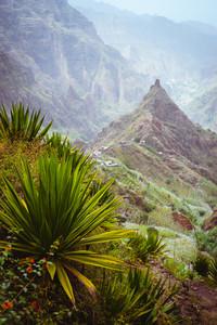 Yucca plants growing on the arid ground along trekking path way towards mountain peak of Xo-xo valley. Santo Antao island, Cape Verde