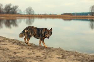 Stray dog walking near lake