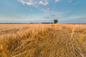 Stubble field landscape. Polish after harvest landscape